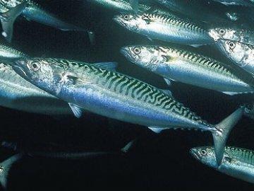 скумбрия - морская рыба